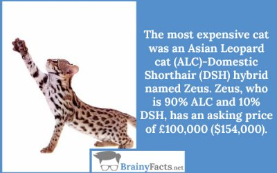 Asian Leopard cat (ALC)