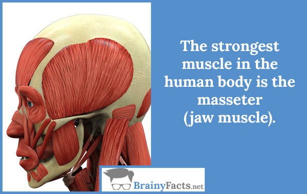 The strongest muscle