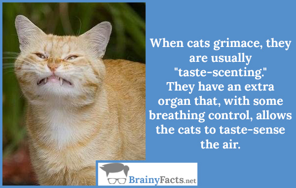 Cats grimace
