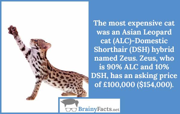 Asian Leopard cat (ALC)