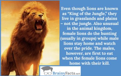 Lions Don't Live in the Jungle