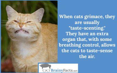 Cats grimace