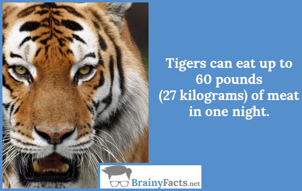 Tigers can eat