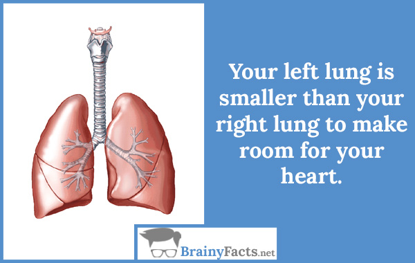 Your left lung